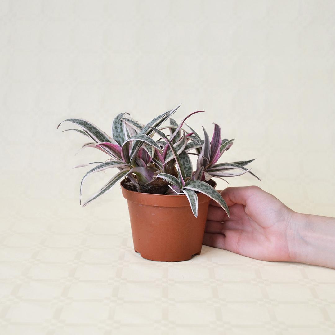 Scilla violacea variegata vaso 10,5