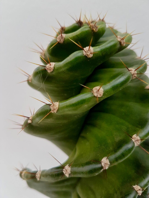 Cereus forbesii Otto