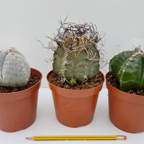 Collezione 3 Astrophytum