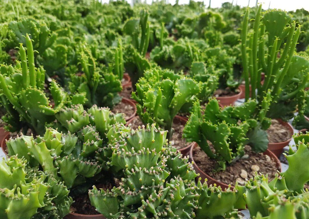 Collezione 3 Euphorbia crestata