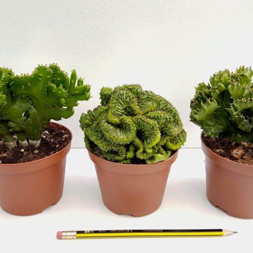 Collezione Euphorbia crestata 3 piante