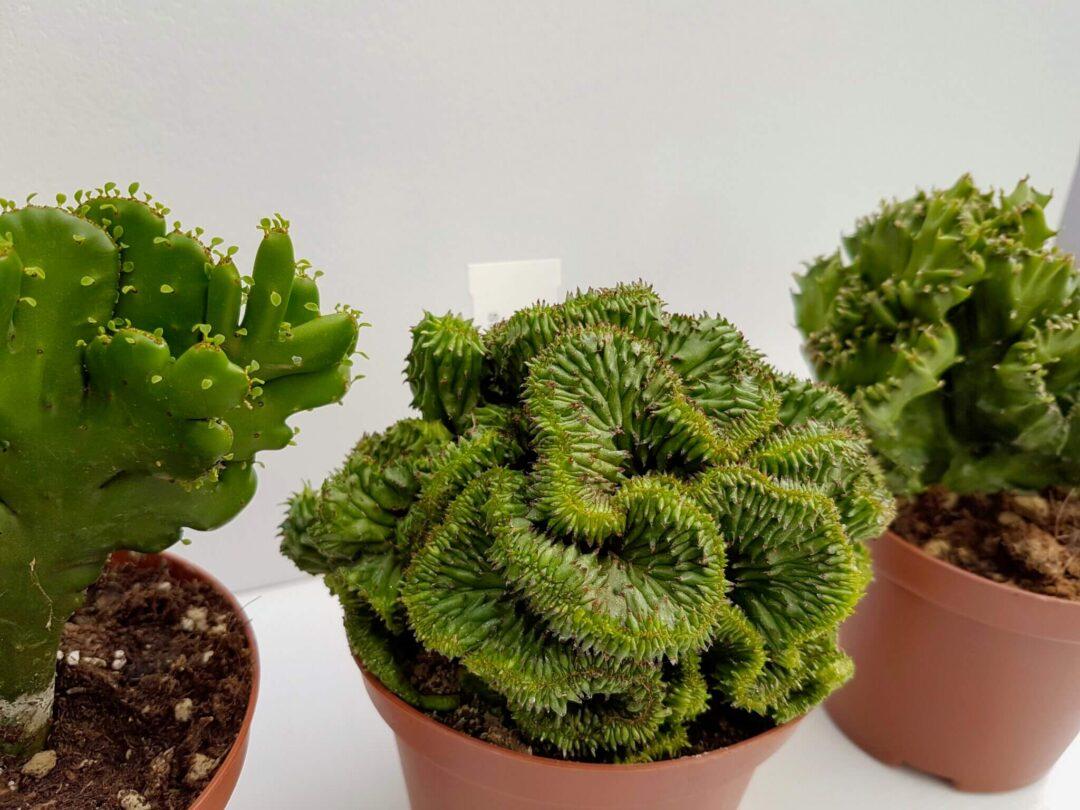 Collezione 3 Euphorbia crestate