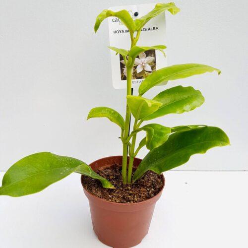 Hoya imperialis alba vaso Ø 10,5