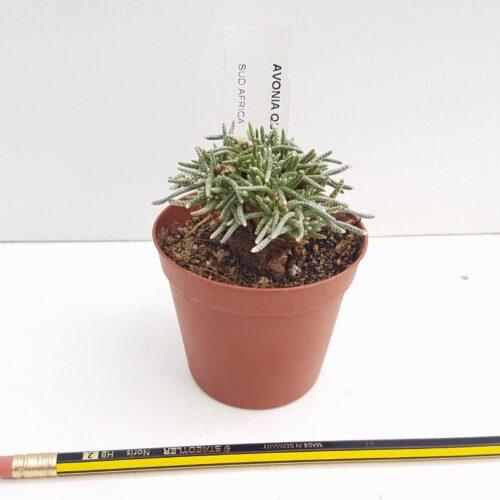 Avonia quinaria vaso Ø 7,5