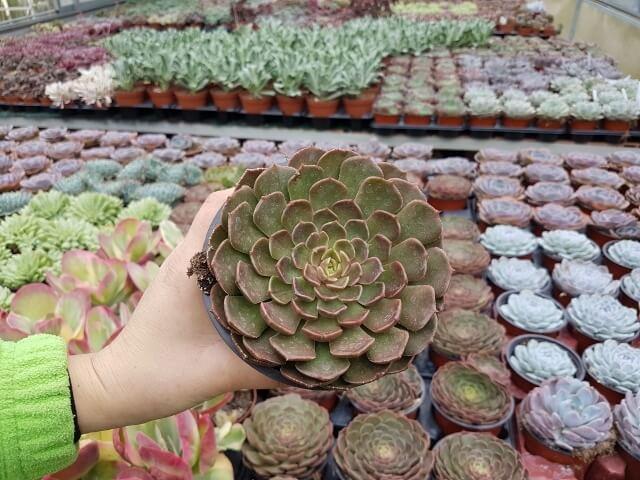 Echeveria Brown Rose