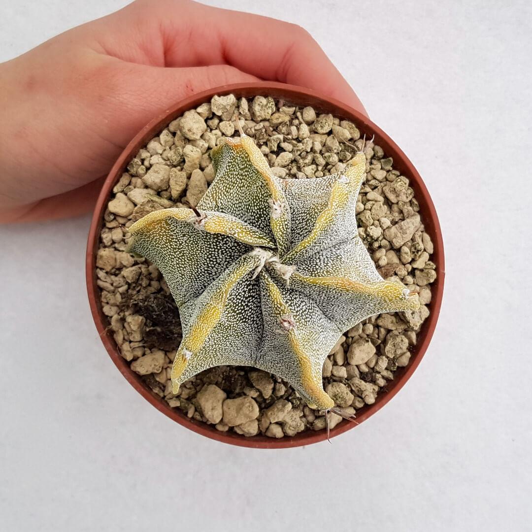 Astrophytum myriostigma ornatum hybrid variegato 31B