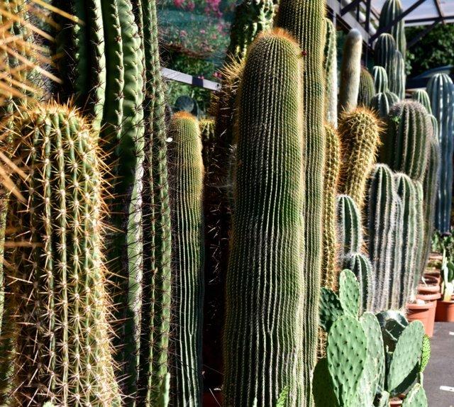 Cactus colonnari