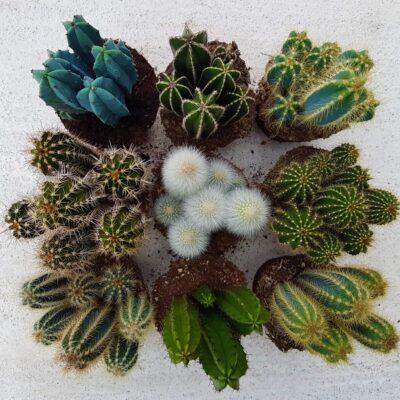 Cactaceae come i Cereus