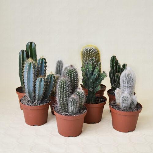 Collezione Cereus 8 piante vaso 10,5