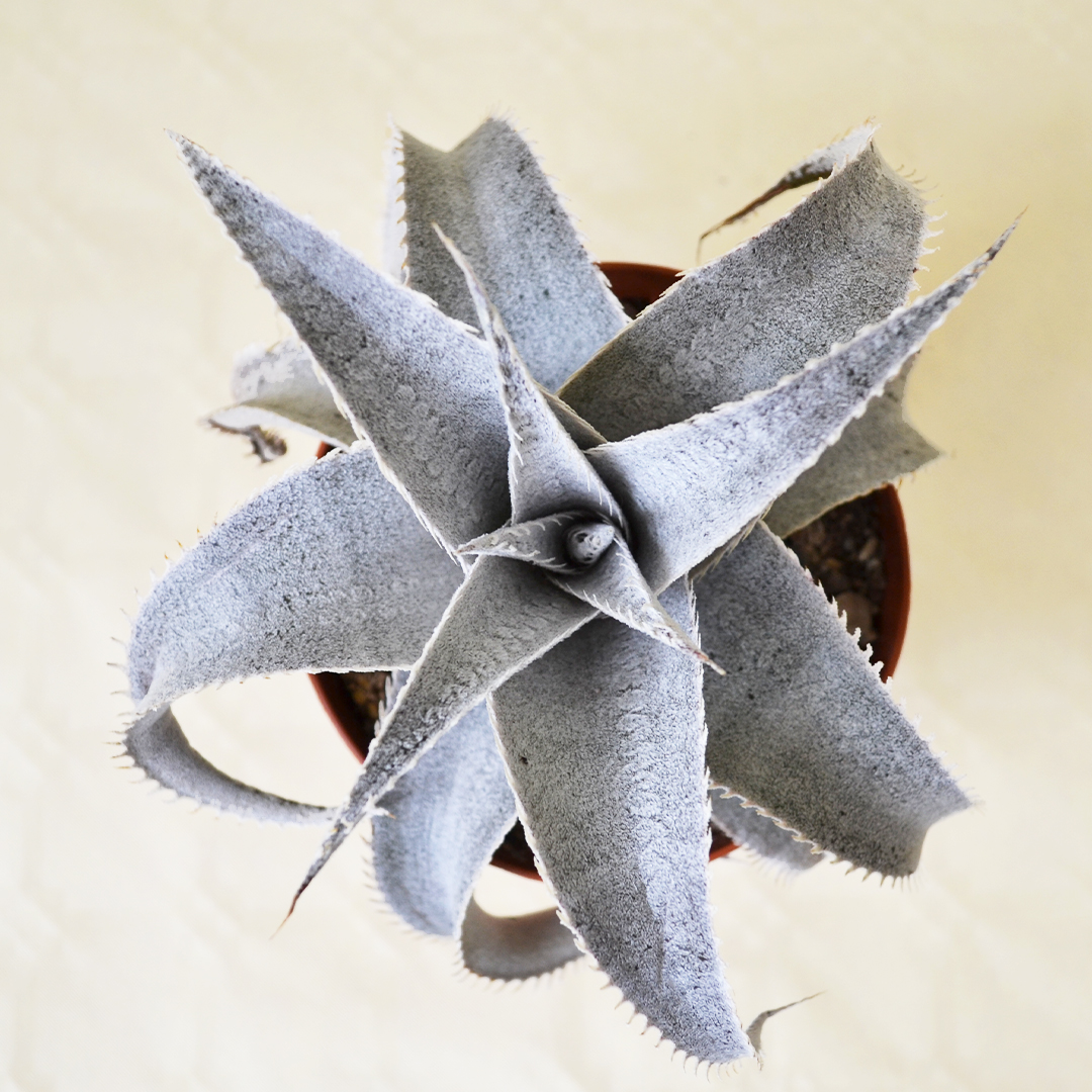 Dyckia marnier-lapostollei vaso 12