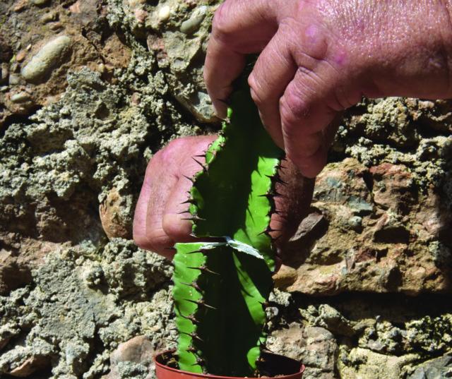 Euphorbia eritrea (porta innesto)