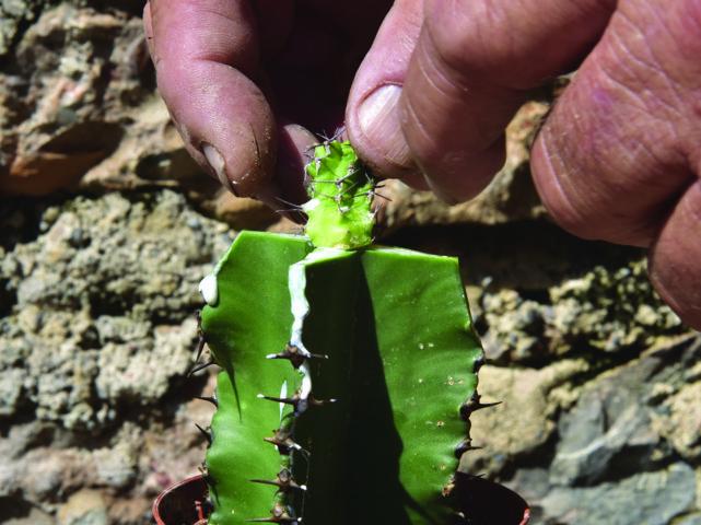 Euphorbia mitriformis Innesto