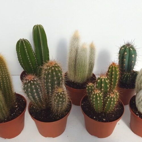 Collezione Cereus 8 piante