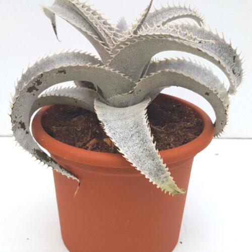 Dyckia marnier-lapostollei vaso Ø 13