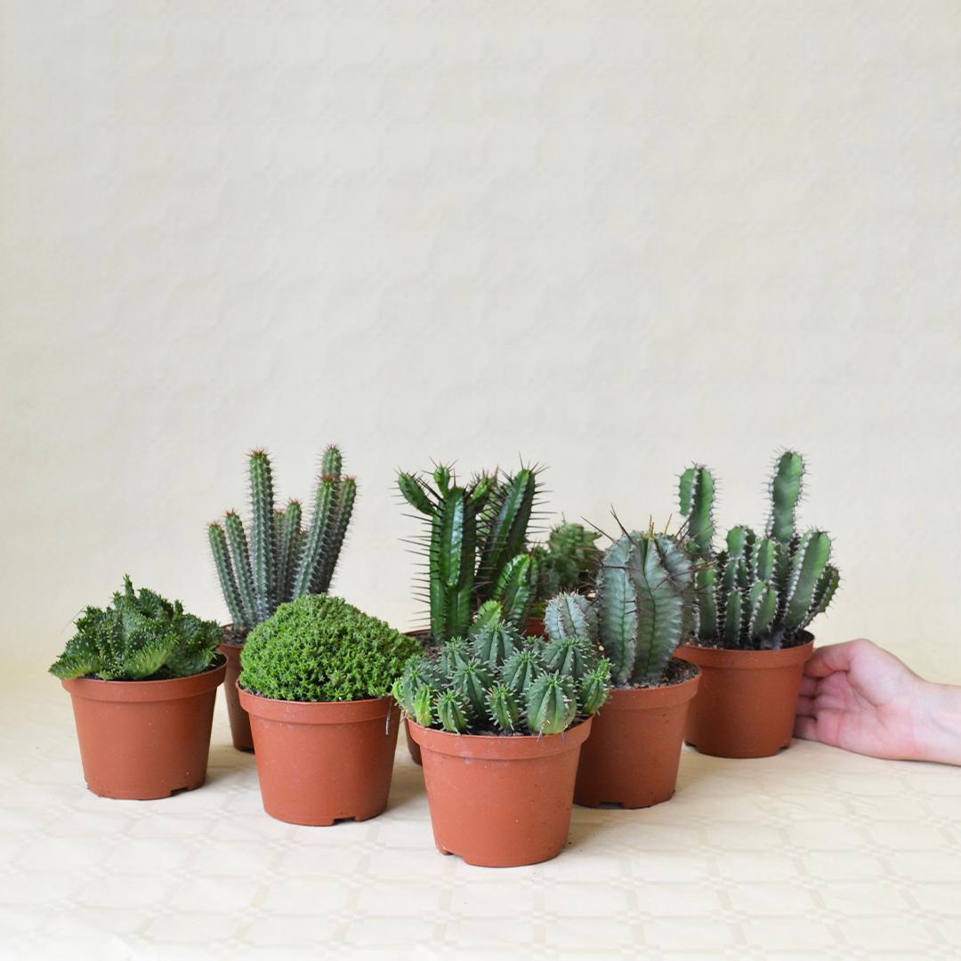 Collezione Euphorbia 8 piante vaso 10,5