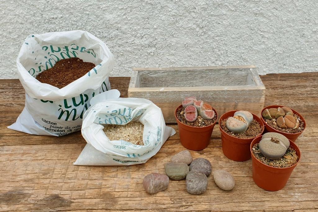 Cactuschool composizione sassi viventi Lithops