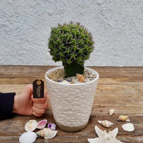 Euphorbia mitriformis Linea Manera
