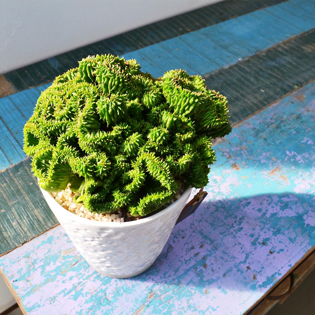 Euphorbia polygona crestata