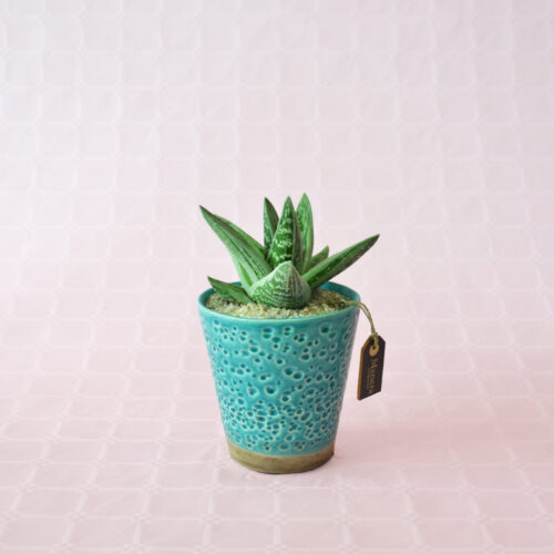 Gasteraloe Green Ice linea Manera