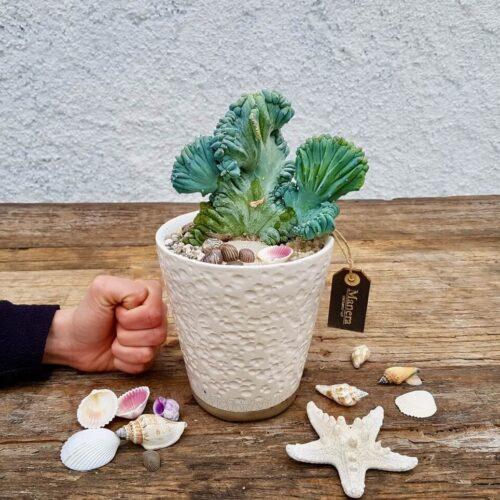 Myrtillocactus geometrizans crestato f. minor Linea Manera