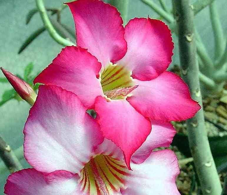 Kit Adenium arabicum