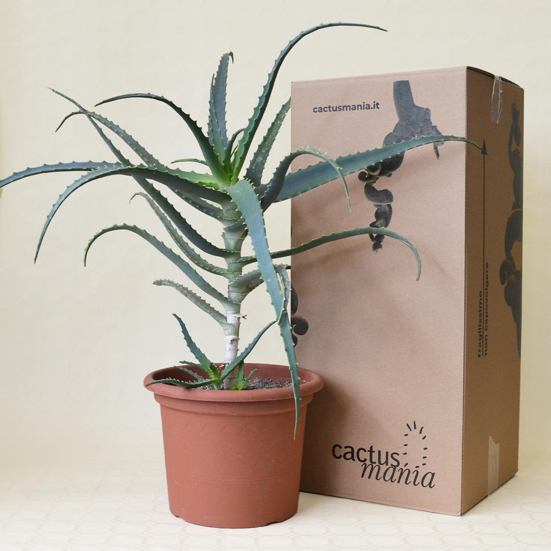 Aloe arborescens vaso 25