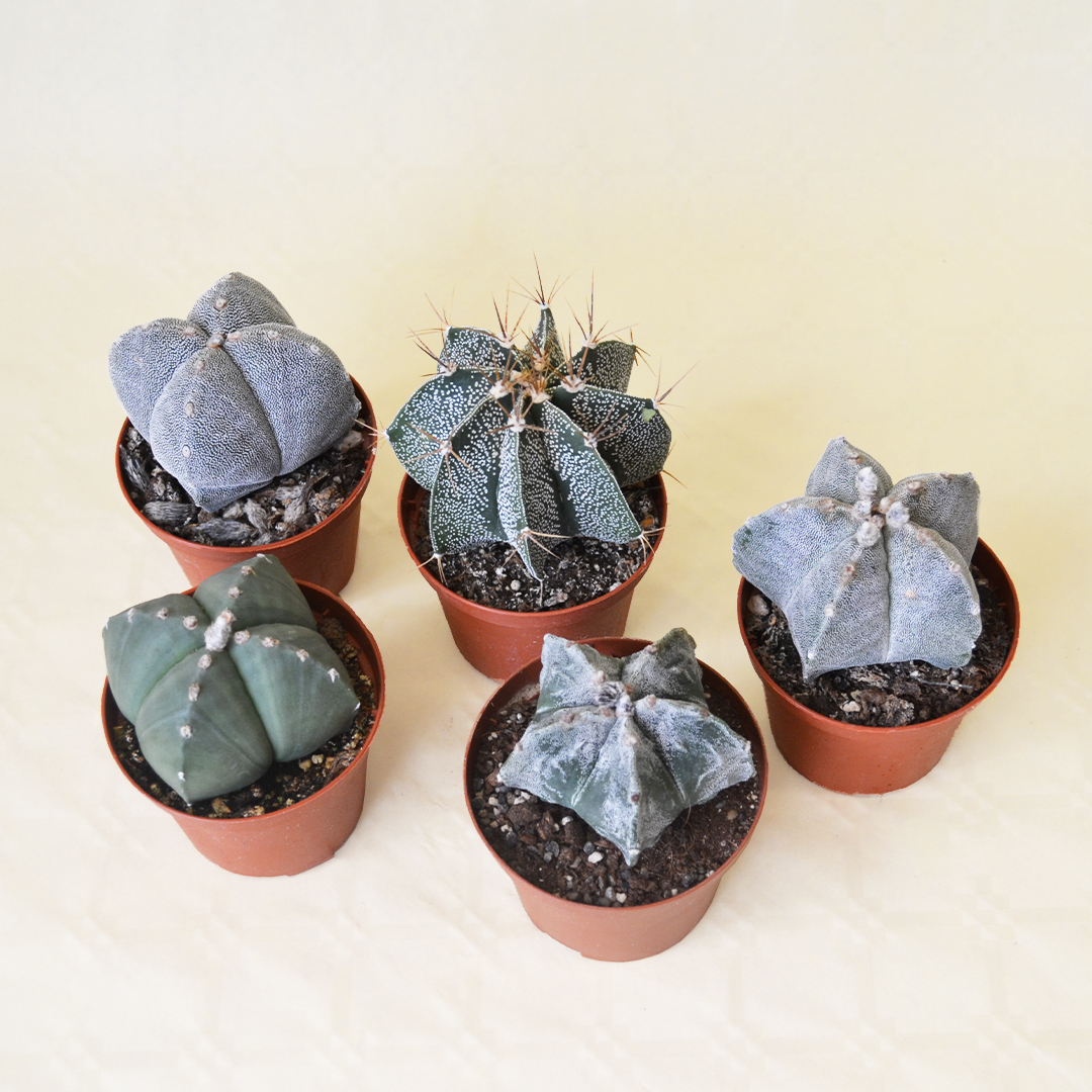 collezione 5 astrophytum vaso 10,5