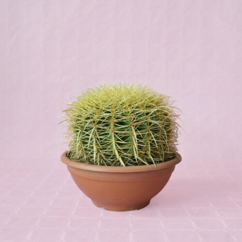 Echinocactus grusonii vaso 20