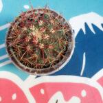 Ferocactus stainesi Pilosus