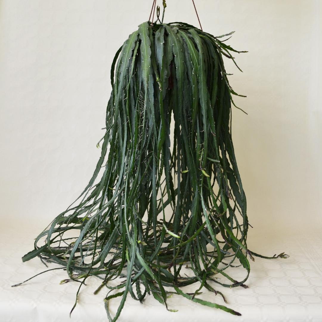 Rhipsalis cruciformis vaso basket 20 XL