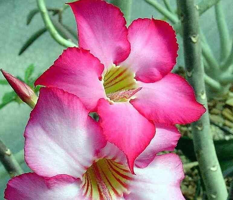 Adenium arabicum fiorito