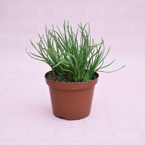 Aloe bowiea vaso 10,5