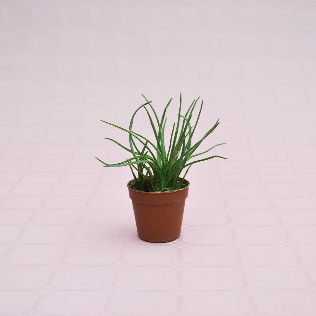 Aloe bowiea vaso 5,5