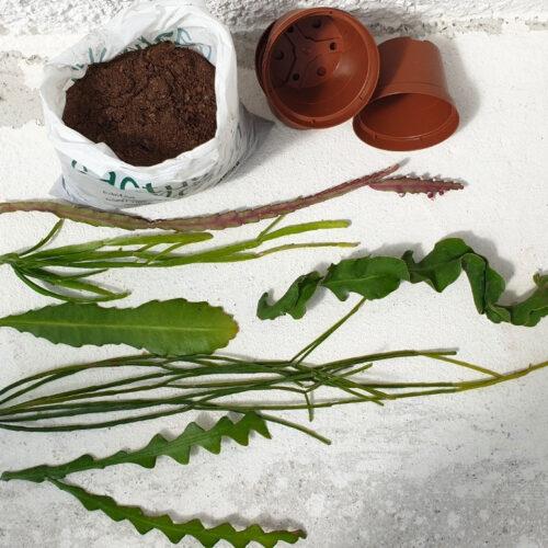 Cactuschool collezione talee epiphyllum e rhipsalis