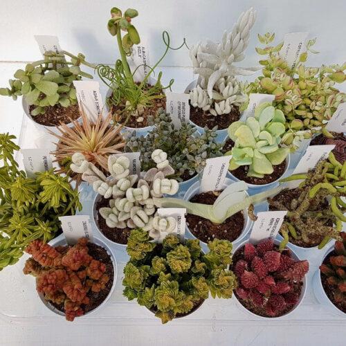 Collezione 16 piantine succulente