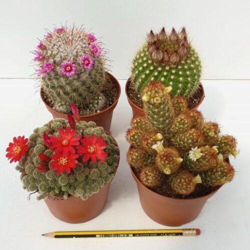 Collezione cactus fioriti 4 piante