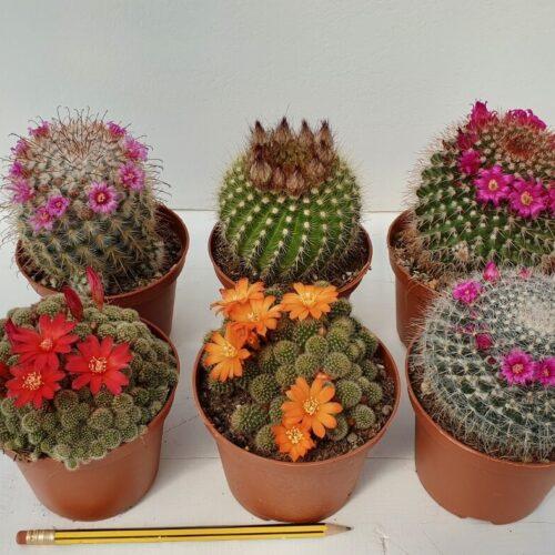 Collezione cactus fioriti 6 piante