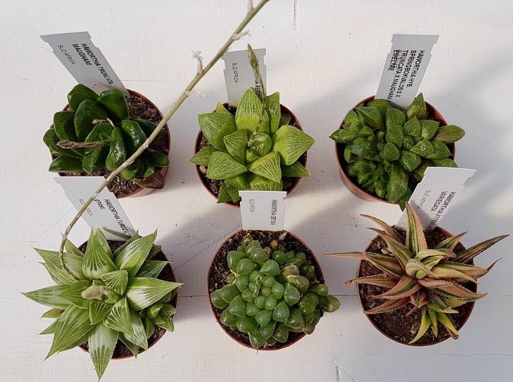 Collezione Haworthia 6 piante