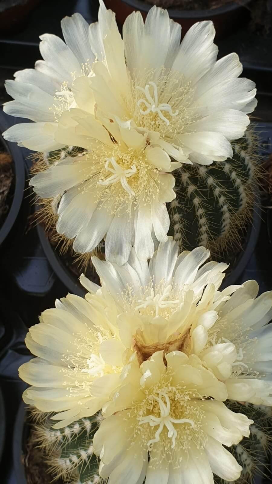 Collezione cactus fioriti 8 piante