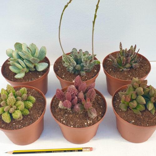 Collezione Adromischus 6 piante