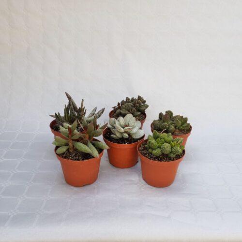 Collezione Adromischus 6 piante vaso 10,5
