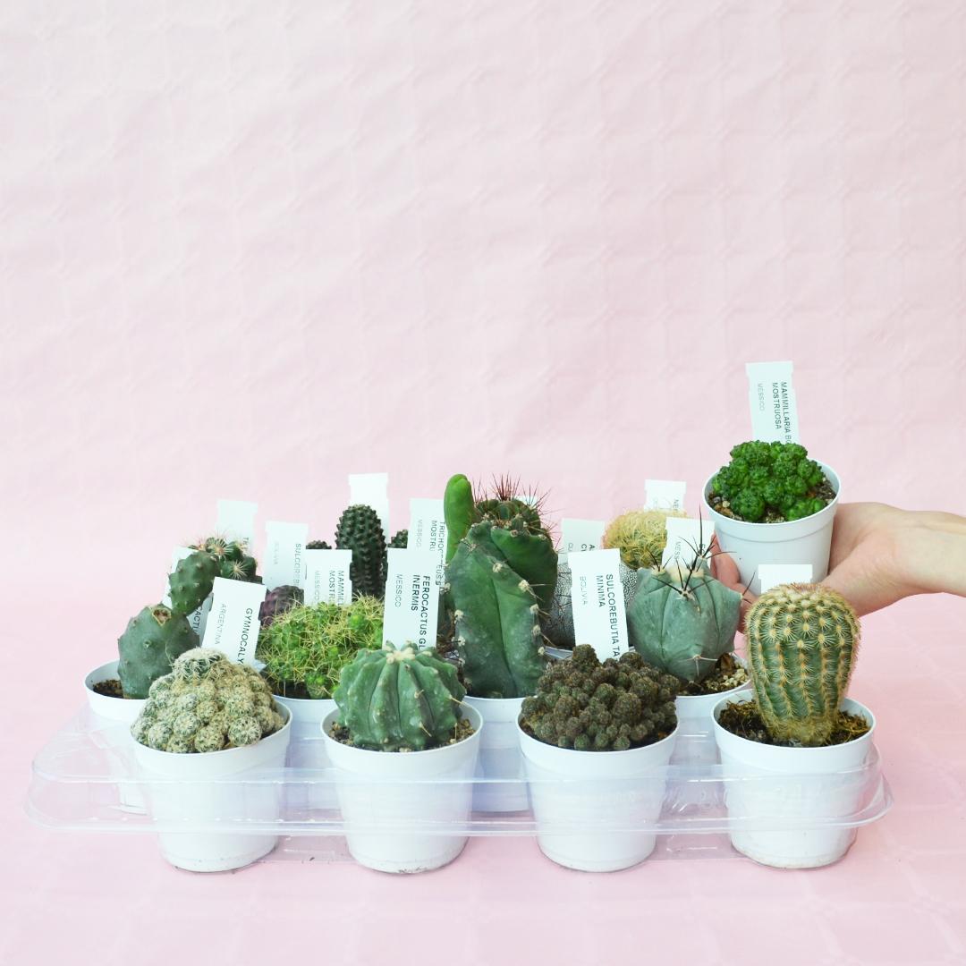 Collezione cactus 16 piante vaso 7,5