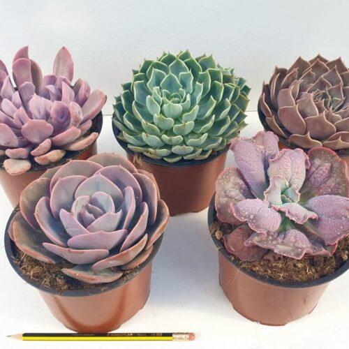 Collezione Echeveria 5 piante