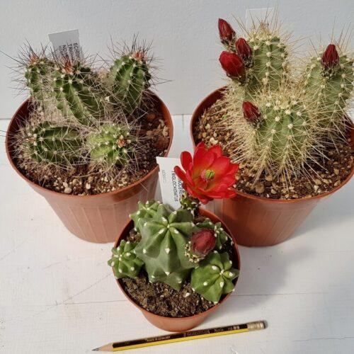 Collezione Echinocereus 3 piante