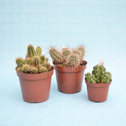 collezione echinocereus 3 piante vaso 14 10,5-1