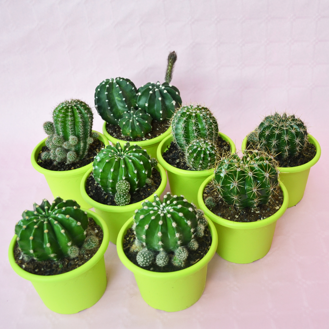 Collezione Echinopsis eyriesii hybrid 8 piante vaso 13