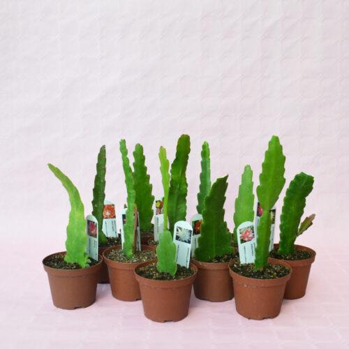 collezione epiphyllum 10 piante vaso 10,5-1