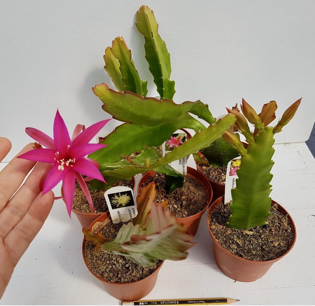 Collezione Epiphyllum 6 piante