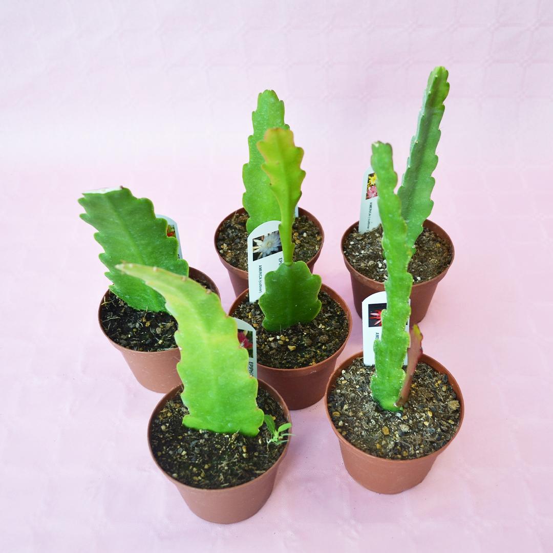 collezione epiphyllum 6 piante vaso 10,5-1