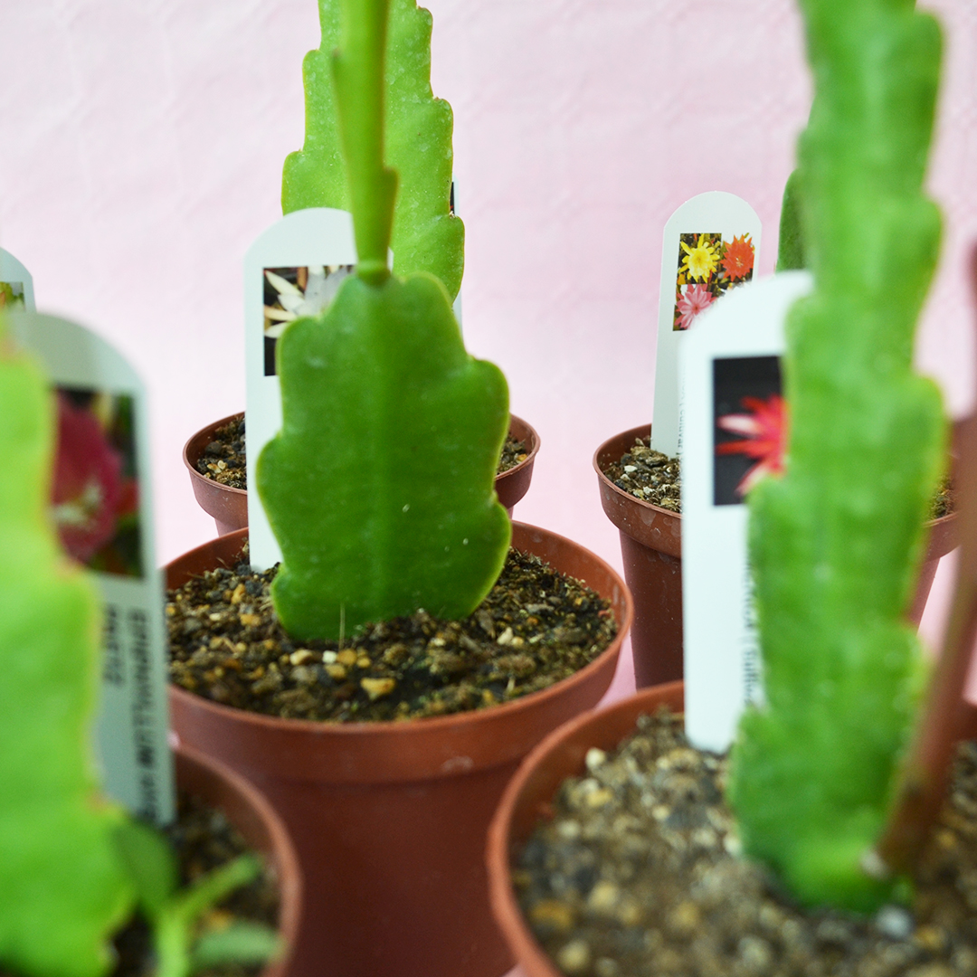collezione epiphyllum 6 piante vaso 10,5-2